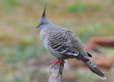 This Crested Pigeon sat still enough for me to get the camera and get this shot through the window.