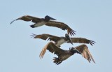 different ages of brown pelican