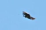 Mississippi kite catching dragon fly