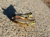 Two grasshoppers in the sun