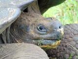Closeup of a giant Galapagos tortoise