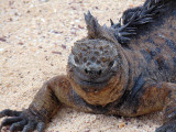 Facing a marine iguana