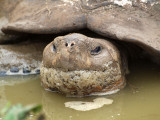 Closeup of a giant Galapagos tortoise in a mud pool