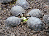 Baby Giant Galapagos tortoises feeding at the breeding center