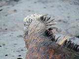 Spikes on the back of a marine iguana