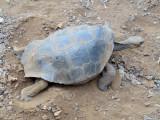 Giant Galapagos tortoise burying its eggs