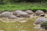 Giant Galapagos tortoises taking a mud bath