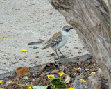 A bird of the Galapagos. Could be a mockingbird