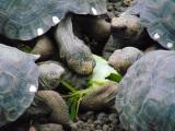 Baby Galapagos tortoises feeding on Elephant Ears