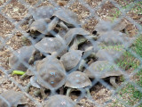 Baby tortoises at Charles Darwin Conservation Center