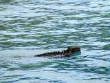 The swimming marine iguana, Galapagos Islands