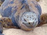 The laughing iguana, Galapagos Islands