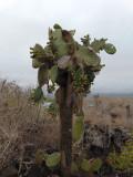 The cactus tres, Galapagos