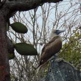 A blue footed booby at Playa de los Perros, Galapagos Islands