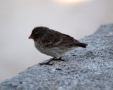 One of Darwin's finches, Galapagos
