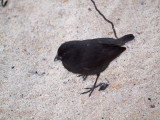 A small ground finch, I think, Galapagos