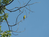 At Forest Park, St. Louis - a Eastern Goldfinch