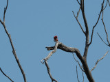 Could it be a purple finch - Forest Park, St. Louis