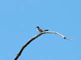 Eastern Kingbird, Forest Park, St. Louis
