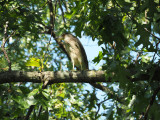 A juvenile night heron - Forest Park, St. Louis