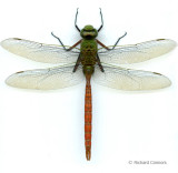 dragonfly scans