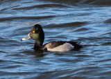 Ring-necked X Scaup species hybrid; male