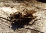 Brachypalpus oarus; Syrphid Fly species