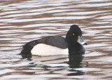 Ring-necked Duck X Scaup species hybrid; male