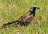 Common Grackle; male