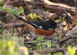 Eastern Towhee; male