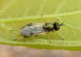 Actina viridis; Soldier Fly species