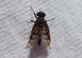 Rhagio Snipe Fly species