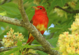 Summer Tanager; first year male