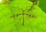 Epiphragma fasciapenne; Limoniid Crane Fly species; male
