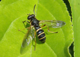 Temnostoma balyras; Syrphid Fly species