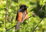 Orchard Oriole; male