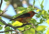 Scarlet Tanager; transitional male