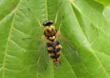 Chrysopilus ornatus; Ornate Snipe Fly; female