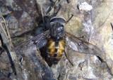 Hybomitra lasiophthalma; Deer Fly species