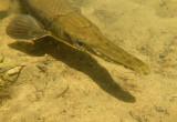 Iowa Fish