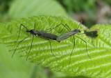Gnophomyia tristissima; Limoniid Crane Fly species pair