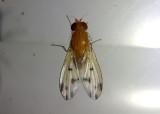 Homoneura Lauxaniid Fly species