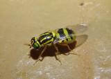 Oxycera variegata; Soldier Fly species; female