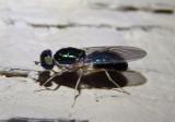 Cephalochrysa nigricornis; Soldier Fly species