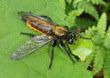 Laphria sericea/aktis complex; Robber Fly species with Green Stink Bug prey