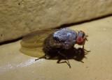 Minettia Lauxaniid Fly species