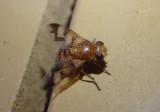 Oestrophasia calva; Bristle Fly species