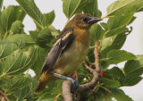 Baltimore Oriole; fledgling