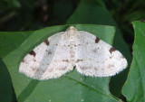 7645 - Heterophleps refusaria; Three-patched Bigwing