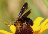 Dieunomia heteropoda; Sweat Bee species